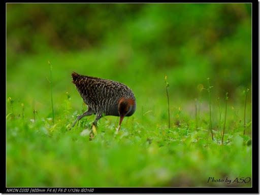 灰胸秧雞(2008-03-23東華大學)0122