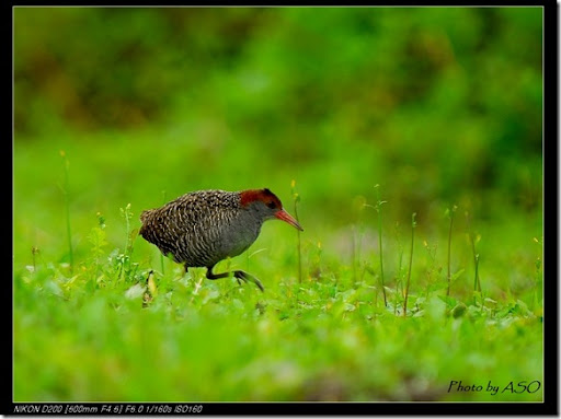 灰胸秧雞(2008-03-23東華大學)0128