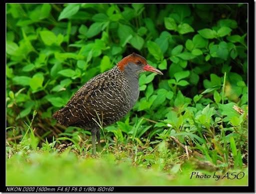 灰胸秧雞(2008-03-23東華大學)0157