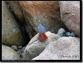 鉛色水鶇(2006-12-23砂卡礑步道)0133