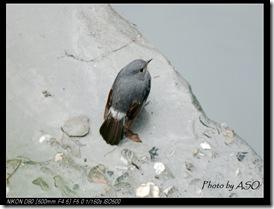 鉛色水鶇(2007-12-15溪畔)0002
