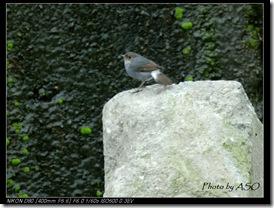 鉛色水鶇(2008-03-30七腳川)0038