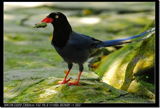 台灣藍鵲(2008-04-06陽明山)0193