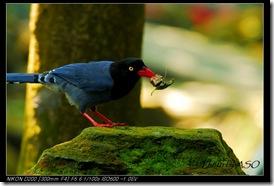 台灣藍鵲(2008-04-06陽明山)0216