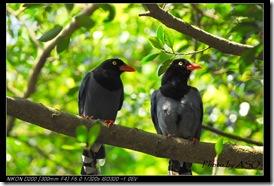 台灣藍鵲(2008-04-06陽明山)0226