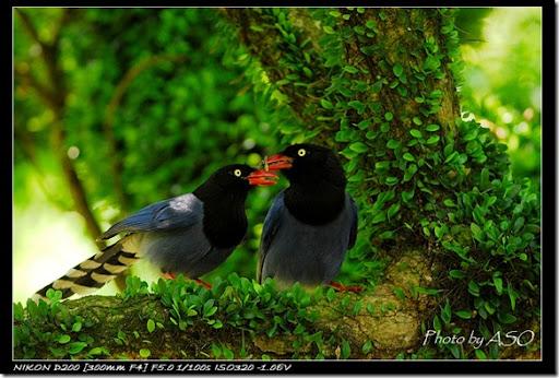 台灣藍鵲(2008-04-06陽明山)0248