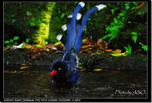 台灣藍鵲(2008-04-06陽明山)0328