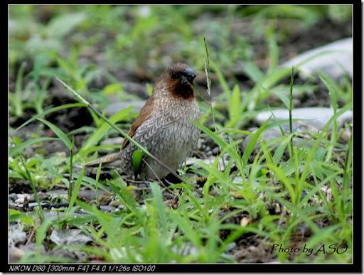 斑文鳥(92007-03-27太昌)0142
