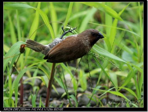 斑文鳥(92007-03-27太昌)0147