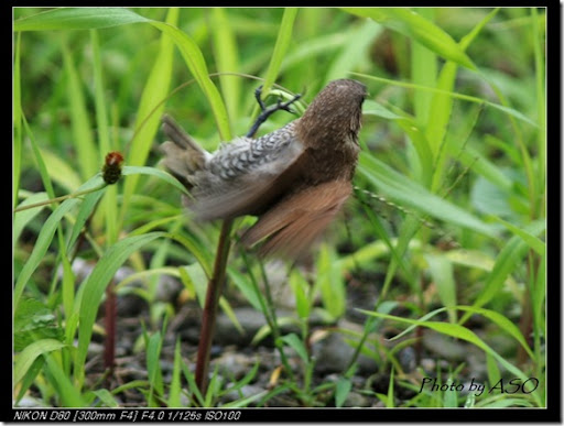 斑文鳥(92007-03-27太昌)0148