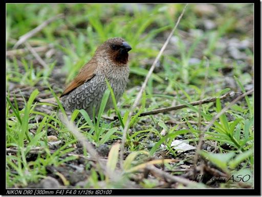 斑文鳥(92007-03-27太昌)0145
