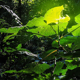 Sun on leaves by Gail Marsella - Nature Up Close Other plants ( plant, green, tropical, costa rica, rainforest )