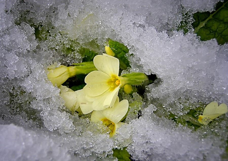 spring is coming by Mirela Korolija - Nature Up Close Flowers - 2011-2013