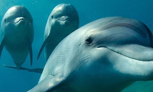 Dolphins Live Wallpaper  screenshots 3