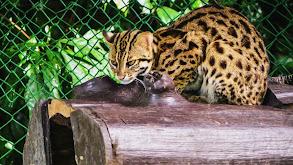 Formosan Clouded Leopard thumbnail