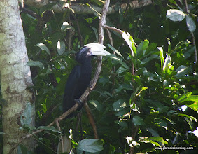 Photo: Black Hornbill, Rainforest Discovery Center, Sepilok