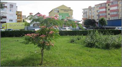Photo: Arborele de matase, Mimosa (Albizia julibrissin) - din Turda, de pe Calea Victoriei, Mr.2,  spatiu verde  - 2018.06.19