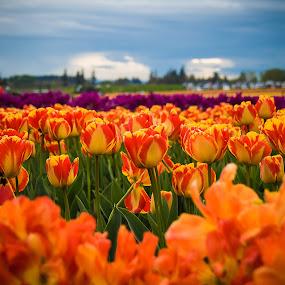 Spring Colors by Ivan Johnson - Flowers Flower Gardens (  )