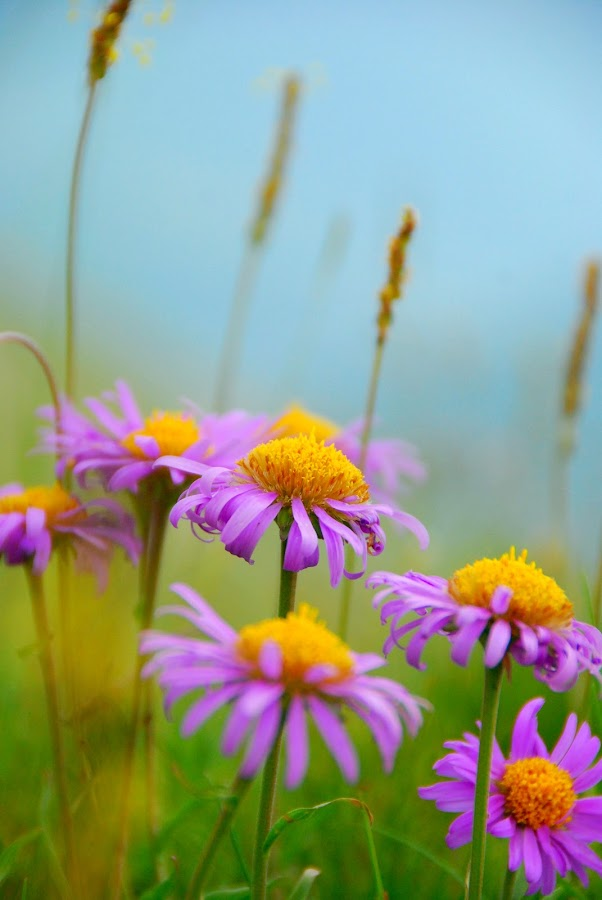 Mountain Aster by Leanne Adams - Nature Up Close Flowers - 2011-2013 ( mountain, purple, aster, aster alpinus, france, flower )