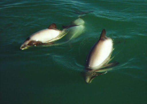 Maui's dolphins are subspecies of Hector's Dolphins. File photo