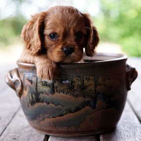 Potted Puppy by Tanya Rossi - Animals - Dogs Puppies ( cavalier, ruby, spaniel, pet, potted, pup, puppy, cavalier king charles, charles, dog, king, pot )