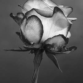 Rose oh ma rose by Gérard CHATENET - Black & White Flowers & Plants