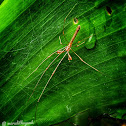 Brown long jawed spider
