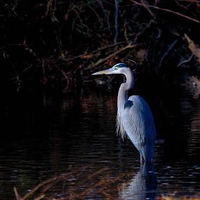 Blue Heron by Brian Lord - Animals Birds ( bird, blue heron, wildlife, lake, heron )