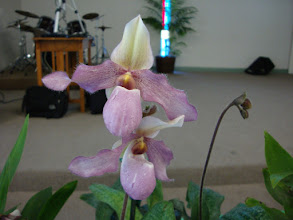 Photo: Paphiopedilum Dellophyllum