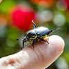 Besouro-da-Roseira / Rose Bush Beetle