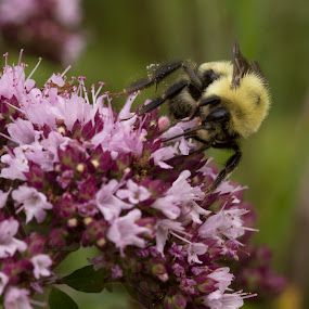 Bumblebee by Francois Larocque - Animals Insects & Spiders ( macro, pollen, bug, insect, bumblebee )