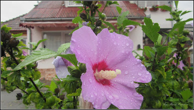 Photo: Turda - Str. Trandafirilor, hibiscus   - 2018.07.08