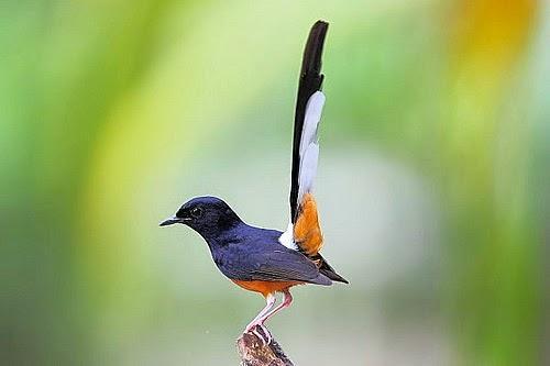 Aneka Burung Kicau