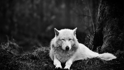 Gray wolf.Live wallpaper