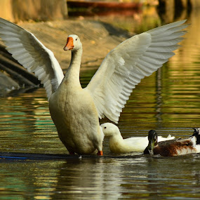 by Shivaang Sharma - Novices Only Wildlife ( bird, wing, nature, tree, zoom, duck, wildlife, india, cam, goose )