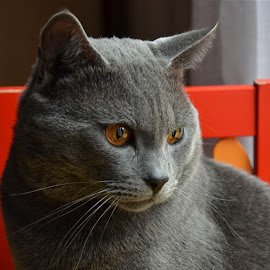 Hugo young by Serge Ostrogradsky - Animals - Cats Portraits ( chartreux )