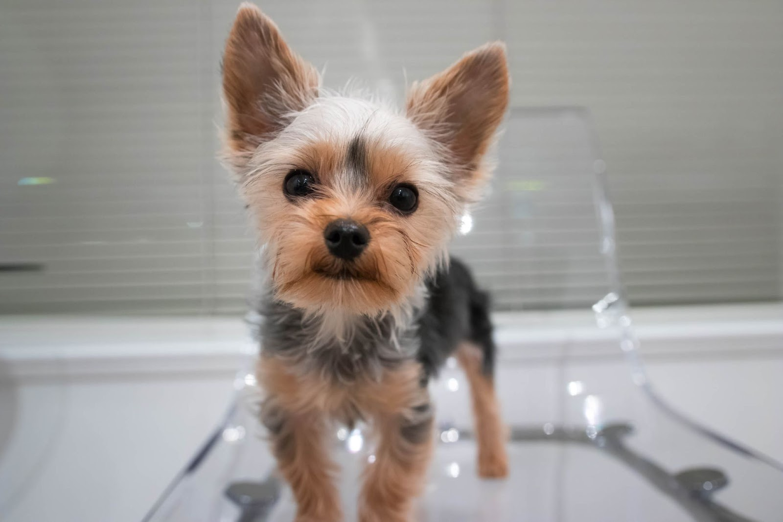 How to Groom a Yorkie With Matted Hair?