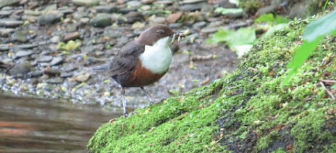 Photo: Dipper 10 June 2015 © Updale Natural History Recorder 2015