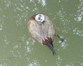 Photo: White-headed duck