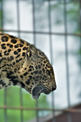 Leopardo di robi7857