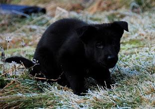 Photo: Lizzi på jakt, 7 uker og 5 dager