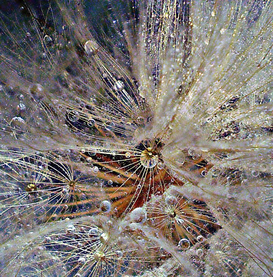 When the Star Leaves Mark by Marija Jilek - Nature Up Close Other plants ( nature, goat-beard, drops, plants, star, mark, light )