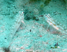 Photo: Bridled gobies (Coryphopterus glaucofraenum) deciding who gets to hide in the sand first