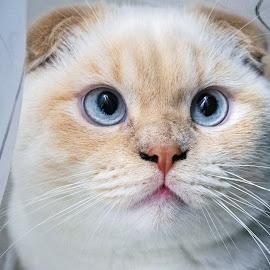 ghost by Ira Mdt - Animals - Cats Portraits ( #cat #britishshorthair #portrait #blueeyes )