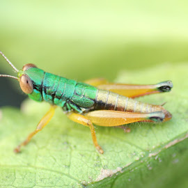 Grasshopper by Yamin Tedja - Animals Insects & Spiders ( macro, nature, closeup, grasshopper, insect, leaf )