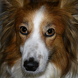 Ruby Upclose by Chrissie Barrow - Animals - Dogs Portraits ( sheltie cross, pet, upclose, white, fur, dog, nose, tan, portrait, eyes )