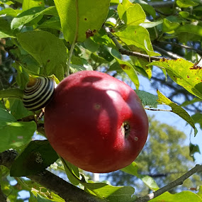 The snail and the apple by Ingrid Bjork - Nature Up Close Gardens & Produce ( apple, snail,  )