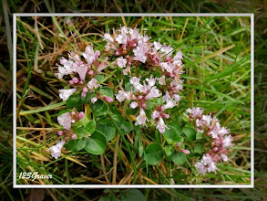 Photo: Origan, Origanum vulgare