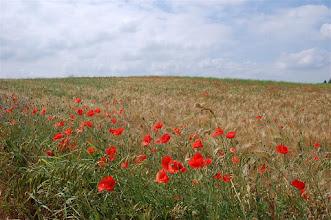 Photo: Maki koło Janik Wielkich (Gr. Hanswalde)