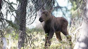Moose: Life of a Twig Eater thumbnail